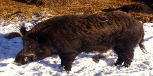 Wildboar photo
