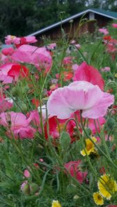 poppies in August